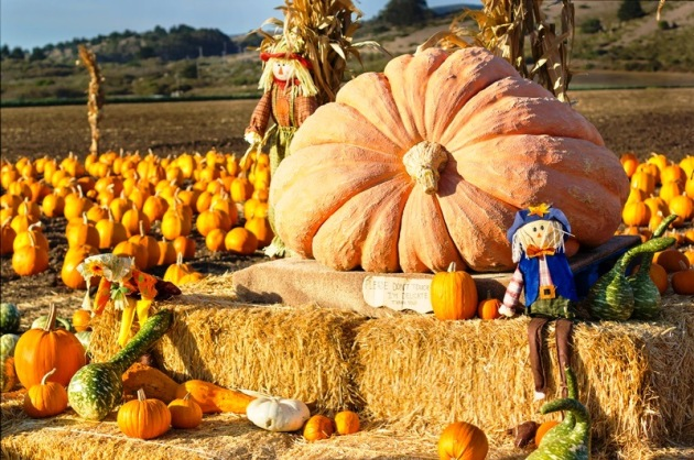 Pumpkin patch ready for annual festival in Half Moon Bay, California.