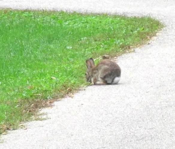 rabbit white tail.jpg