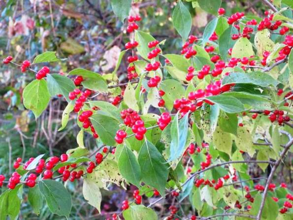 Red Berries1