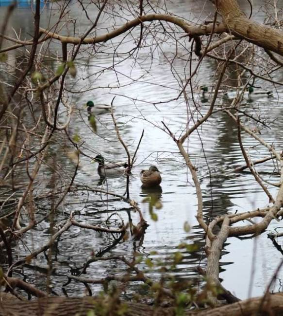 ducks paddling1
