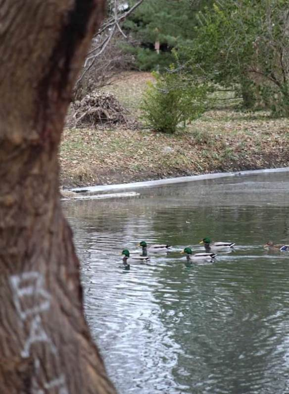 evergreens and ducks.jpg