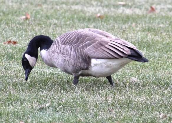 fat goose2