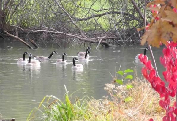 swimming geese1.jpg