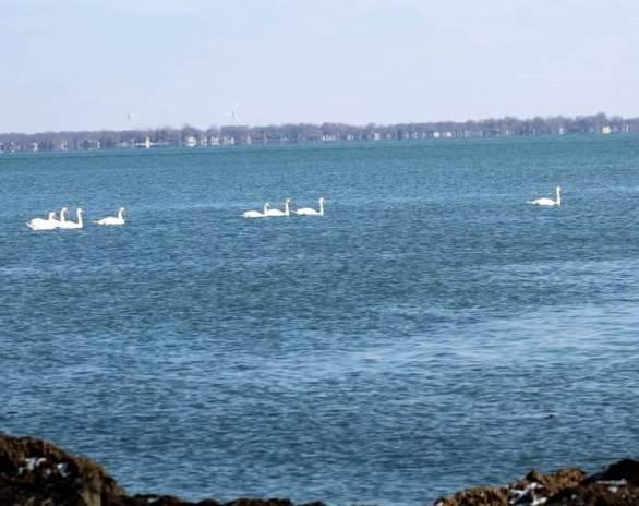 7 swans swimming.jpg