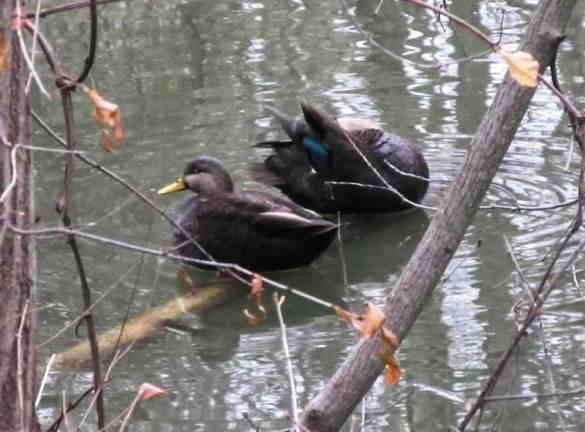 black duck.jpg
