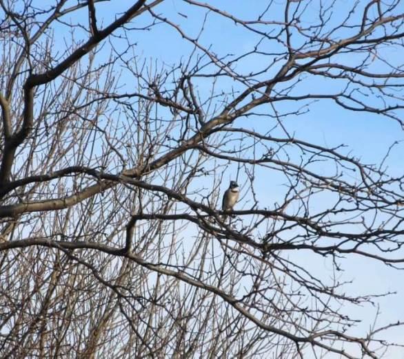 blue jay in tree.jpg