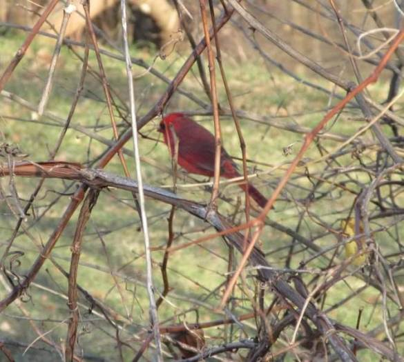 cardinal in bush backwards.jpg
