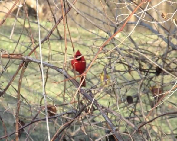 cardinal in bush.jpg