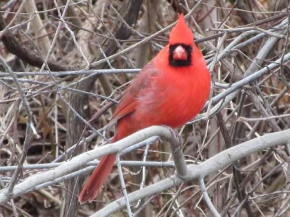 cardinal looking at me.jpg