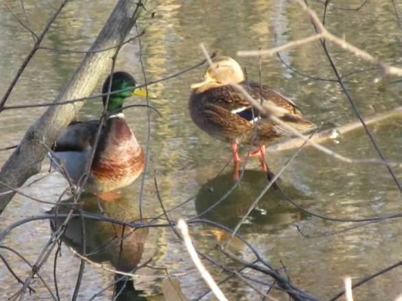 ducks goo goo eyes.jpg