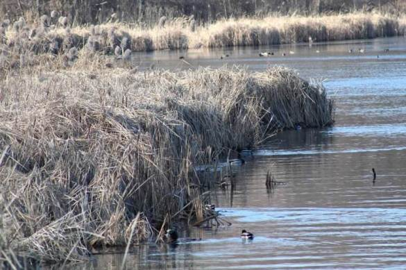 ducks in and out of reeds.jpg