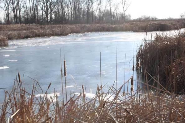 frozen bulrushes