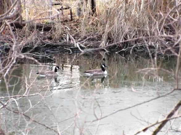 geese along the shoreline.jpg
