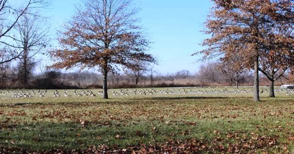 geese aplenty at lake erie