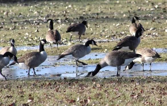 geese walking gingerly