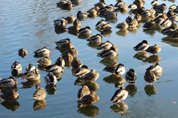 lots of ducks