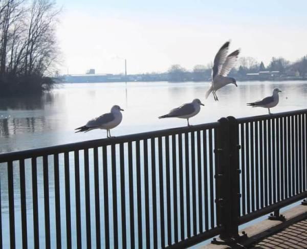 seagull landing1
