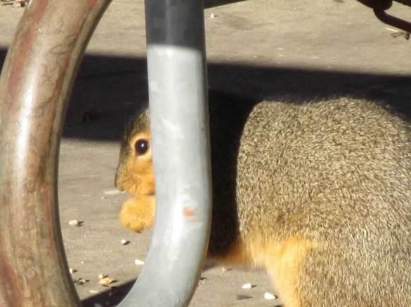 squirrel eyes