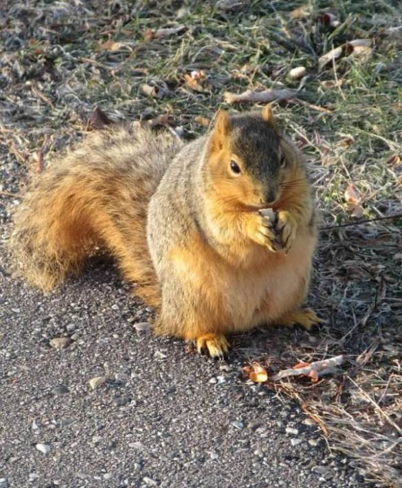 squirrel noshing nut before cardinal.jpg