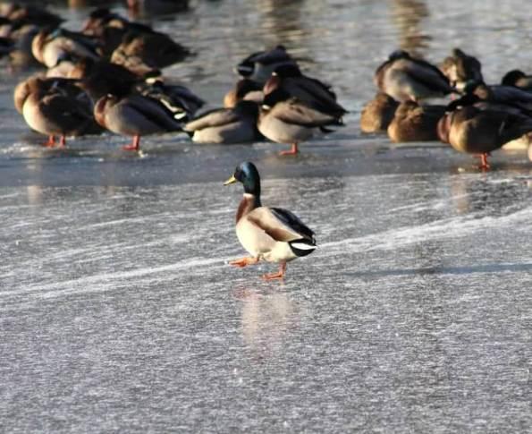 strutting on ice