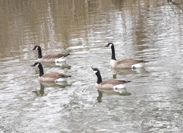 canada geese1
