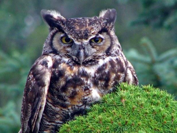 owl from joe
