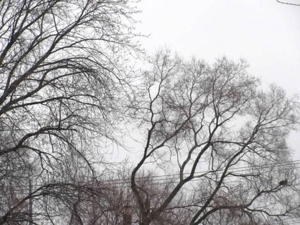 tall trees1