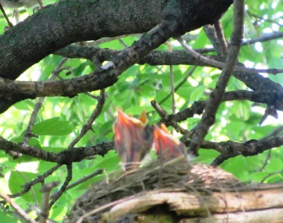 Baby Robins waiting for food
