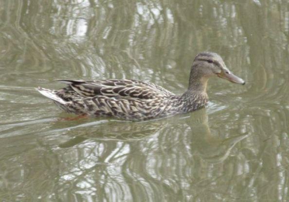 duck female