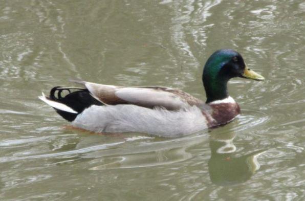 duck male